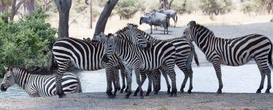 Gruppe Zebras, die auf Flussbank stehen lizenzfreies stockfoto