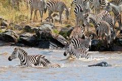 Gruppe Zebras, die den Fluss Mara kreuzen Lizenzfreies Stockbild