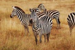 Gruppe Zebras, die Serengeti im Nationalpark weiden lassen Lizenzfreie Stockfotos