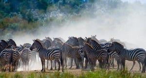 Gruppe Zebras im Staub Kenia tanzania Chiang Mai serengeti Maasai Mara stockfoto
