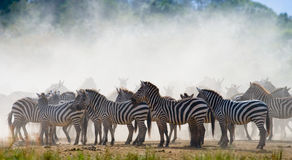 Gruppe Zebras im Staub Kenia tanzania Chiang Mai serengeti Maasai Mara lizenzfreie stockfotografie