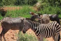 Gruppe Zebras und kudu Stockbild