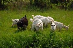 Gruppe Ziegen Stockfotografie