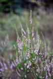 Gruppen av att dåna den rosa gemensamma Heather Calluna vulgaris blomman specificerade arkivfoton