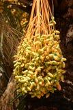 Gruppen av att mogna daterar på ett palmträdslut upp Arkivfoton