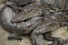 Gruppen av att sova för krokodil Royaltyfri Fotografi