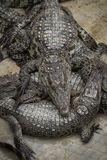 Gruppen av att sova för krokodil Royaltyfri Foto