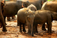 Gruppen av behandla som ett barn elefanter Royaltyfri Foto