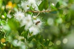 Gruppen av behandla som ett barn vita blommor med biet i arzskog i norr Libanon royaltyfri foto