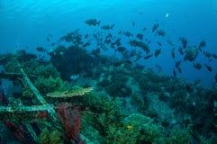 Gruppen av cinerascens för färnafiskKyphosus simmar ovanför korallrever i Gili, Lombok, Nusa Tenggara Barat, Indonesien det under Arkivfoton
