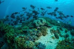 Gruppen av cinerascens för färnafiskKyphosus simmar ovanför korallrever i Gili, Lombok, Nusa Tenggara Barat, Indonesien det under royaltyfria bilder