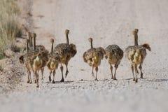 Gruppen av den lilla strutsen blir rädd spring Royaltyfri Foto