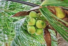 Gruppen av den nya gröna kokosnöten bär frukt på trädet royaltyfri fotografi