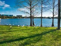 Gruppen av den vita ibits går vid sjön royaltyfri bild