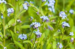 Gruppen av det cyan fältet för blommande Myosotisförgätmigejblått blommar Arkivfoton