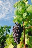 Gruppen av druvor stänger sig upp i en vingård royaltyfria foton