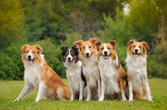 Gruppen av fem lyckliga hundkapplöpning gränsar collien Royaltyfria Bilder