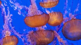 Gruppen av geléer i djupblå bevattnar Arkivfoton
