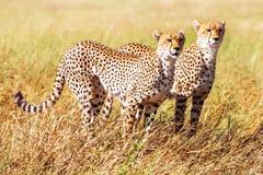 Gruppen av geparder jagar i den afrikanska savannahen _ tanzania Serengeti nationalpark royaltyfria bilder