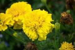 Gruppen av guling blommar i gräset och en knopp med en spindelrengöringsduk Royaltyfri Fotografi