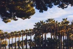 Gruppen av högväxta tropisk-seende palmträd ställde upp i Cannes Arkivfoto