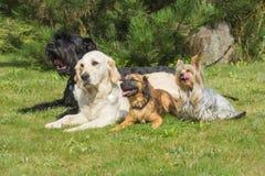 Gruppen av hundkapplöpning ligger på gräsmattan Arkivbild