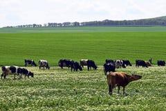 Gruppen av kor betar på en grön äng i vårdag, boskapjordbruksmark royaltyfria bilder