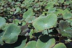 Gruppen av lotusblommasidor parkerar offentligt Arkivbilder