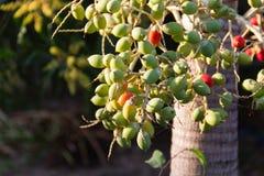 Gruppen av Manila gömma i handflatan frukt på träd i trädgården royaltyfri foto