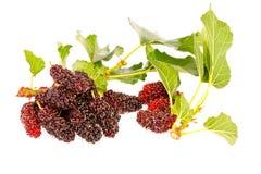 Gruppen av mulberrys bär frukt in isolerat på vit Arkivbilder