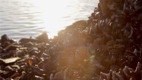 Gruppen av musslor på kusten vaggar stock video