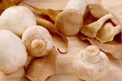 Gruppen av ny vit plocka svamp med bruna blad Royaltyfria Foton