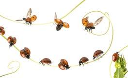 Gruppen av nyckelpigor landade på en växt och ett flyg som isolerades Arkivfoton