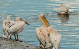 Gruppen av pelikan som förnyar sig efter en natt, vilar Royaltyfri Fotografi