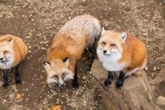 Gruppen av räven frågar för mat royaltyfri fotografi