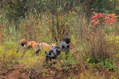 Gruppen av räven (Vulpesvulpes) kör till och med ogräs Royaltyfri Bild
