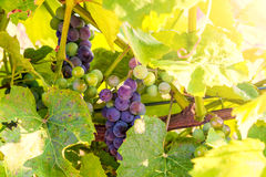 Gruppen av röda druvor och vinrankan spricker ut mot gräsplan- och gulingbakgrund Royaltyfri Bild