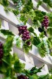 Gruppen av röda druvor på vinrankan med gräsplan lämnar bakgrund Royaltyfria Bilder
