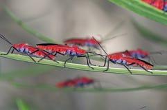 Gruppen av rött buggar Arkivbild