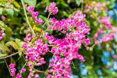 Gruppen av rosa färger blommar på tropisk vinranka Royaltyfri Foto