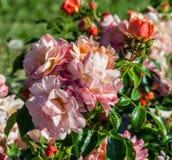 Gruppen av rundade apelsin-rosa färger blommar med scharlakansröda fläckar på spetsarna av kronblad arkivfoto