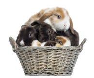 Gruppen av satängMini Lop kaniner travde upp i en vide- korg fotografering för bildbyråer