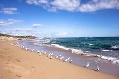 Gruppen av Seagulls nära sätter på land i pingvinön i Perth, västra Australien Arkivfoto