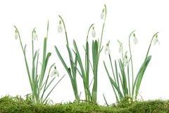 Isolerade Snowdrops på Moss Royaltyfri Fotografi