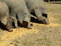 Gruppen av tre svin som äter havre, matar på jordningen Fotografering för Bildbyråer
