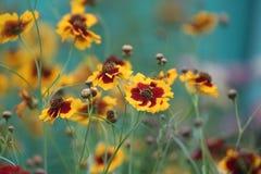 Gruppen av tusenskönan blommar i trädgården Royaltyfri Fotografi
