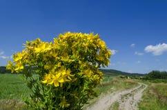 Gruppen av tutsan eller Sts John för wort (Hypericum) för guling läkarundersökning blommar Royaltyfri Fotografi
