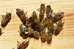Gruppen Bienen stockfotos