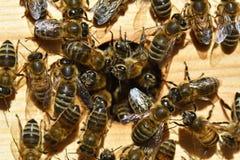 Gruppen Bienen stockfotografie