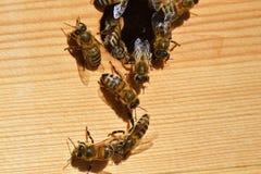 Gruppen Bienen stockbild